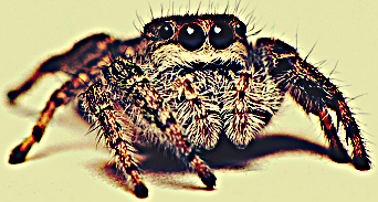 Jumping Spider - Bite, Facts, Pictures